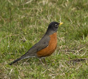 Robin Bird in Green Grass