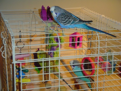 Jellybean and Jonny in our cage, first time w. Buddy on roof Jan 5, 2016